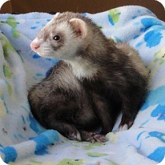 Ferret for adoption in Hartford, Connecticut - Zach