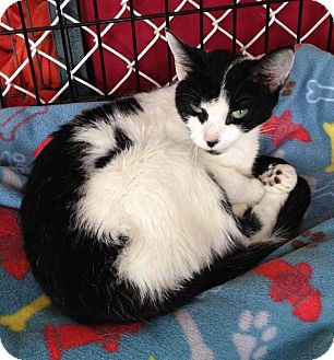 Domestic Shorthair Cat for adoption in Freeport, New York - Gloria
