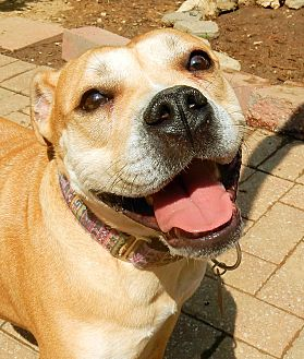 Staffordshire Bull Terrier/Boxer Mix Dog for adoption in O'Fallon, Missouri - Tempest *low rider*