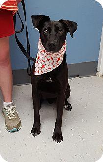 Labrador Retriever Mix Dog for adoption in Maryville, Illinois - Shamus