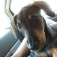 Doberman Pinscher Mix Puppy for adoption in Thomasville, North Carolina - Diamond