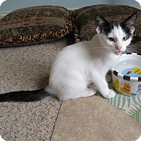 Domestic Shorthair Kitten for adoption in Lexington, Kentucky - Floyd