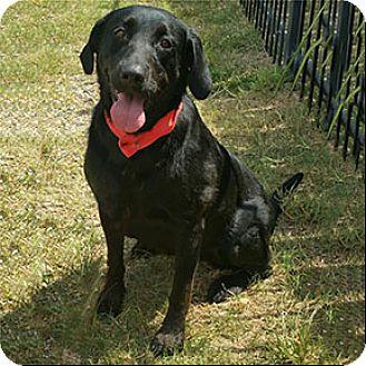 Labrador Retriever Mix Dog for adoption in Shreveport, Louisiana - Millie