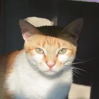 Adopt A Pet :: Ginger - New Iberia, LA
