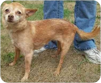 Chihuahua Dog for adoption in North Judson, Indiana - Minerva