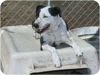 American Pit Bull Terrier/Labrador Retriever Mix Dog for adoption in Tucson, Arizona - Lucy