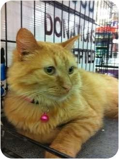 Domestic Mediumhair Cat for adoption in Baton Rouge, Louisiana - Peaches
