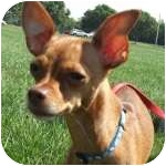 Chihuahua Mix Dog for adoption in Wheaton, Illinois - Trixie