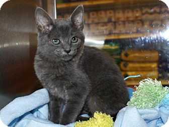 Domestic Shorthair Kitten for adoption in Houston, Texas - Eva
