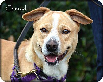 Australian Cattle Dog/Labrador Retriever Mix Dog for adoption in Vista, California - Conrad