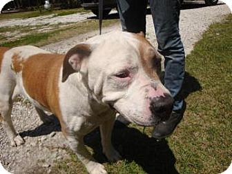 American Bulldog Mix Dog for adoption in Gainesville, Florida - Archie Andrews
