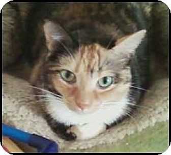 Calico Cat for adoption in Madison, Tennessee - Aranelle