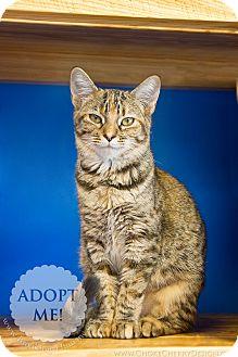 Domestic Shorthair Cat for adoption in Brookings, South Dakota - Roxanne