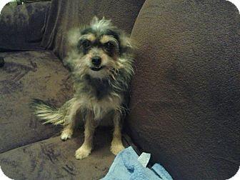 Chihuahua Dog for adoption in Sylvania, Georgia - Lucy (Courtesy Listing)