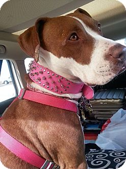 Pit Bull Terrier/Pointer Mix Dog for adoption in Phoenix, Arizona - Athena