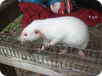 Rat for adoption in Christmas, Florida - Rats (2)