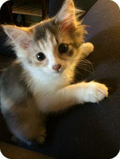 Domestic Mediumhair Kitten for adoption in Richmond, Virginia - Baby Girl (courtesy listing)