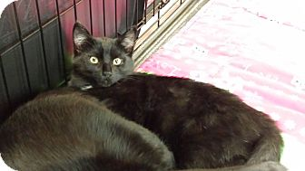 Domestic Shorthair Kitten for adoption in Irwin, Pennsylvania - Lucy