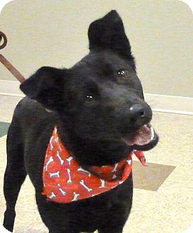 German Shepherd Dog/Labrador Retriever Mix Dog for adoption in Hastings, Nebraska - Maddy