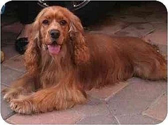 Cocker Spaniel Dog for adoption in Flushing, New York - Simba