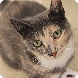 Domestic Shorthair Cat for adoption in Naperville, Illinois - Terri