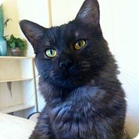 Adopt A Pet :: Kashmir * courtesy post - Hurst, TX