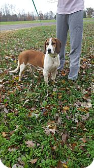 Treeing Walker Coonhound Mix Puppy for adoption in fredericksburg, Virginia - Snoopy