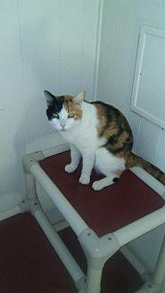 Calico Cat for adoption in Elk Grove, California - Violet