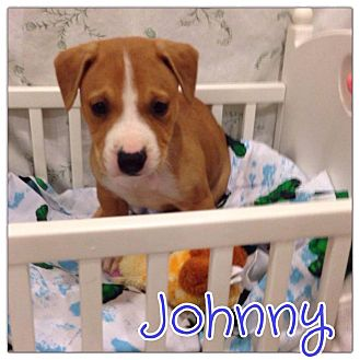 Jack Russell Terrier Mix Puppy for adoption in Valley Stream, New York - Johnny