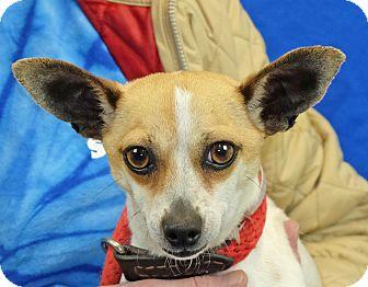 Chihuahua Mix Dog for adoption in Spokane, Washington - Misty