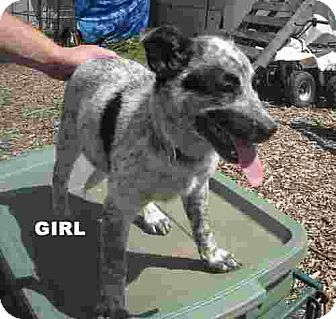 Australian Cattle Dog/Border Collie Mix Puppy for adoption in Conway, Arkansas - Willow