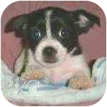 Shih Tzu Mix Puppy for adoption in Pittsboro/Durham, North Carolina - Giselle