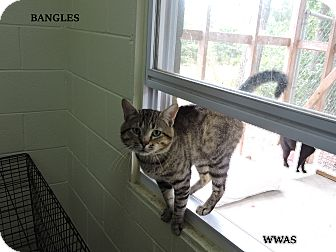 Domestic Shorthair Cat for adoption in Washington, Georgia - Bangles