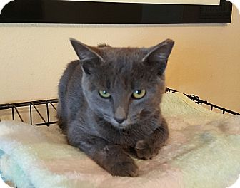 Domestic Shorthair Cat for adoption in Tampa, Florida - Prince Andrew