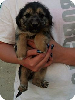 Terrier (Unknown Type, Small) Mix Puppy for adoption in Corona, California - CASSY