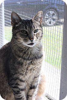 Domestic Shorthair Cat for adoption in Dalton, Georgia - Tigie