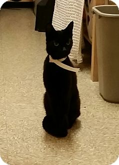 Domestic Shorthair Cat for adoption in East Hartford, Connecticut - Branci (in CT)