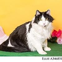 Adopt A Pet :: Ellie - Reno, NV