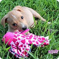 Adopt A Pet :: Squirt - Groton, MA
