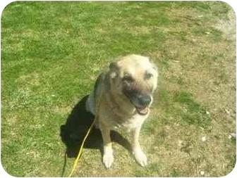German Shepherd Dog Mix Dog for adoption in Liberty Center, Ohio - Shelby