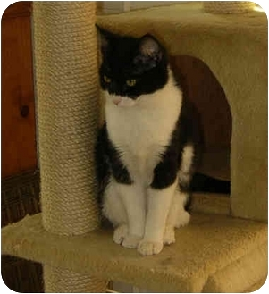 Domestic Shorthair Cat for adoption in Palmdale, California - Annabelle