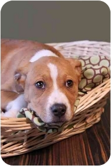 Pit Bull Terrier Mix Puppy for adoption in Portland, Oregon - Francis