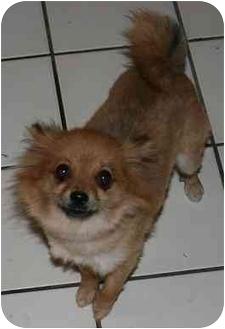 Pomeranian Dog for adoption in House Springs, Missouri - Reta