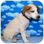 Photo 3 - Australian Cattle Dog/Australian Cattle Dog Mix Puppy for adoption in Broomfield, Colorado - 1Captain America