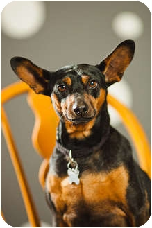 Miniature Pinscher Dog for adoption in Portland, Oregon - Alvin