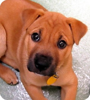 Shepherd (Unknown Type)/Hound (Unknown Type) Mix Puppy for adoption in Los Angeles, California - Marta *VIDEO*