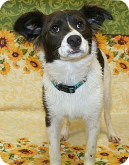 Australian Shepherd/Springer Spaniel Mix Puppy for adoption in Westminster, Colorado - Apricot