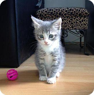 Domestic Shorthair Kitten for adoption in Richmond, Virginia - Smokey