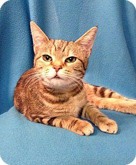 Domestic Shorthair Cat for adoption in Hazard, Kentucky - Miss Kitty