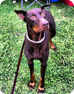 Doberman Pinscher Dog for adoption in killeen, Texas - Sarge